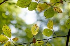 Bladeren van een vergankelijke boom die geel in de vroege herfst worden Stock Afbeeldingen