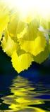 Bladeren van esp en water stock afbeeldingen