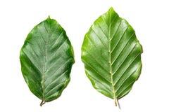 Bladeren van Fagus-sylvatica op witte achtergrond Royalty-vrije Stock Afbeelding