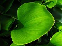 Bladeren van ?Gemeenschappelijke waterhyacint? royalty-vrije stock fotografie