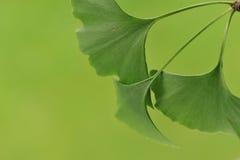 Bladeren van Ginkgo Biloba Royalty-vrije Stock Fotografie