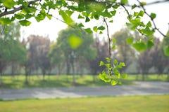 Bladeren van ginkgobiloba Stock Afbeeldingen