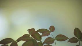 Bladeren van hemels bamboe stock videobeelden