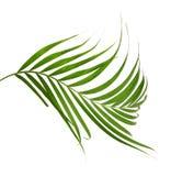 Bladeren van kokospalm op witte achtergrond wordt geïsoleerd die stock foto's