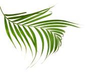 Bladeren van kokospalm op witte achtergrond wordt geïsoleerd die royalty-vrije stock foto