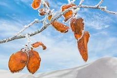 Bladeren van kweepeer-boom met witte rijp tegen een blauwe hemel Royalty-vrije Stock Afbeelding