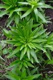 Bladeren van lelie Stock Afbeeldingen