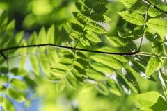 Bladeren van lijsterbes in Mei Royalty-vrije Stock Afbeeldingen