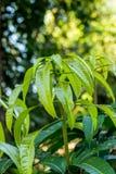 Bladeren van mango Stock Foto's