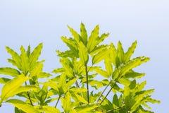 Bladeren van mangoboom in de lente op witte achtergrond, abstract blad Stock Fotografie