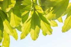 Bladeren van mangoboom in de lente op witte achtergrond, abstract blad Royalty-vrije Stock Afbeeldingen