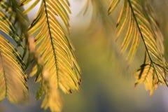 bladeren van Metasequoia-bomen Stock Foto