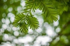 bladeren van Metasequoia-bomen Royalty-vrije Stock Afbeeldingen