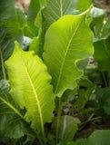 Bladeren van mierikswortel Stock Foto's