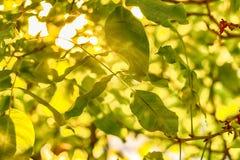 Bladeren van okkernoot Stock Fotografie