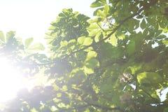 Bladeren van paardekastanje die naar de zon worden gefotografeerd Royalty-vrije Stock Afbeelding