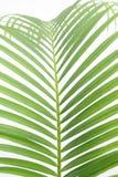 Bladeren van palm Stock Foto's