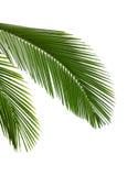 Bladeren van palm Stock Foto