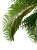 Bladeren van palm stock afbeeldingen