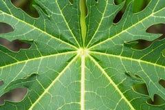 Bladeren van papajatextuur Stock Foto's