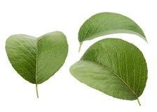 Bladeren van peer op de witte achtergrond royalty-vrije stock foto's