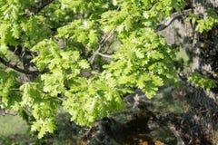 Bladeren van pubescent eik stock afbeelding