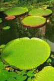 Bladeren van reuze en regelmatig-gerangschikte waterlelies stock foto