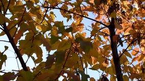Bladeren van rood en geel licht die in de wind slingeren die de stralen van de zon overgaan tegen de de herfst blauwe hemel stock video