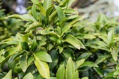 Bladeren van rutaceae ovale kumquat van fortunellamargarita van China Royalty-vrije Stock Foto
