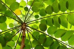 Bladeren van sterkruisbes Royalty-vrije Stock Afbeelding