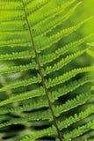 Bladeren van varen Stock Foto