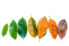 Bladeren van verschillende leeftijd van de boom van het hefboomfruit op witte houten backg stock foto's