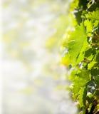 Bladeren van wijnstok. Stock Afbeelding