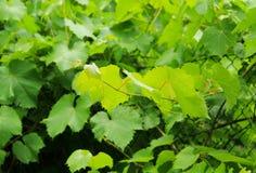 Bladeren van wijnstok Stock Foto