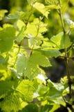 Bladeren van wijnstokken Royalty-vrije Stock Afbeelding