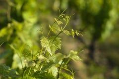 Bladeren van wijnstokken Royalty-vrije Stock Foto's