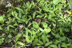 Bladeren van wild knoflook Stock Foto's