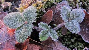 Bladeren van wilde die aardbeien met rijp worden behandeld stock foto's