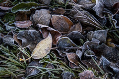 Bladeren in vorst Stock Foto's