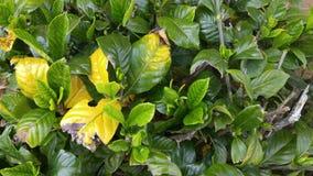 Bladeren in vroege daling Stock Afbeeldingen