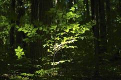 Bladeren in zonlicht Royalty-vrije Stock Afbeelding