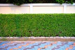 Bladerengordijn, de voorzijde van de boommuur de concrete muur Stock Fotografie