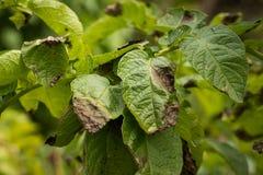 Bladereninstallatie van Aardappel Getroffen Phytophthora Stock Foto's