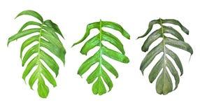 Bladerenreeks van Monstera-installatie met regendruppels, tropische evergr stock fotografie