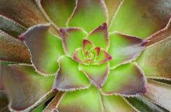 Bladerentextuur van cactussen stock afbeeldingen