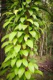 Bladerenwijnstok op de boom Royalty-vrije Stock Foto's