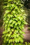 Bladerenwijnstok op de boom Royalty-vrije Stock Foto