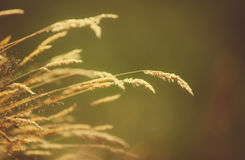 Blades of dry grass over a blurred background. Royalty Free Stock Photo