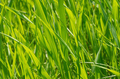 Blades of fresh grass Royalty Free Stock Photography