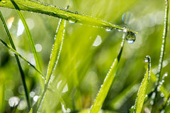 Blades of fresh green grass with dewdrops. Blades of fresh green grass with glistening dewdrops or raindrops and a background bokeh of sparkling sunlight on Royalty Free Stock Photography